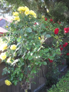 The lovely roses along the driveway